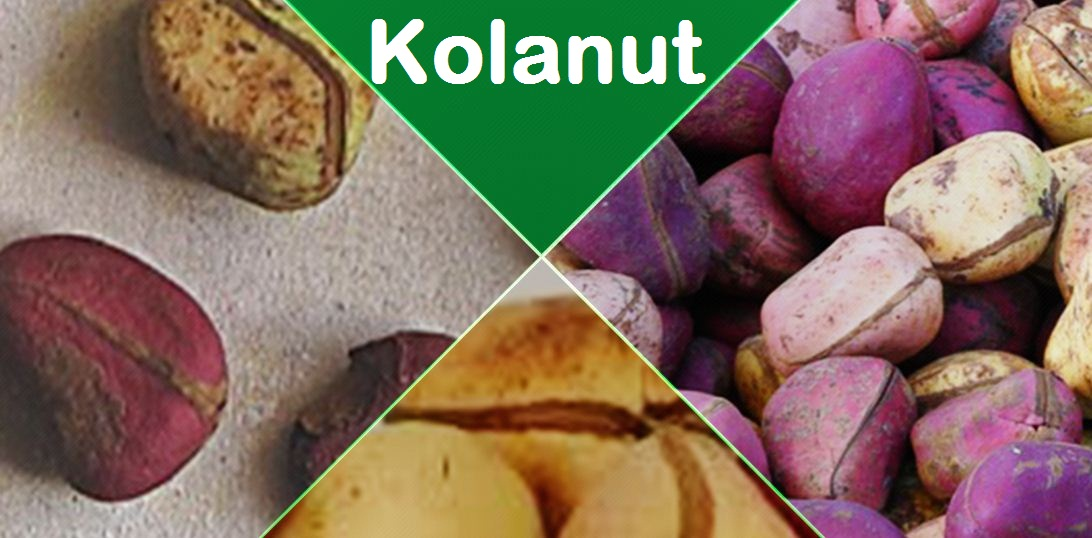 Kolanut Production In Nigeria And Its Cultivation Processes