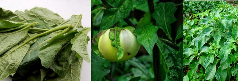 Clean your Kidney now with Garden Egg Leaves