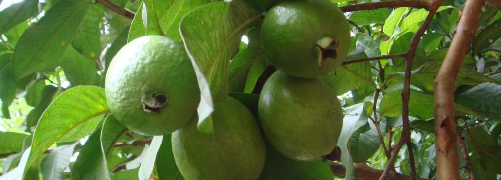 Guava Farm: 8 Tips on How to Start a Guava Farm